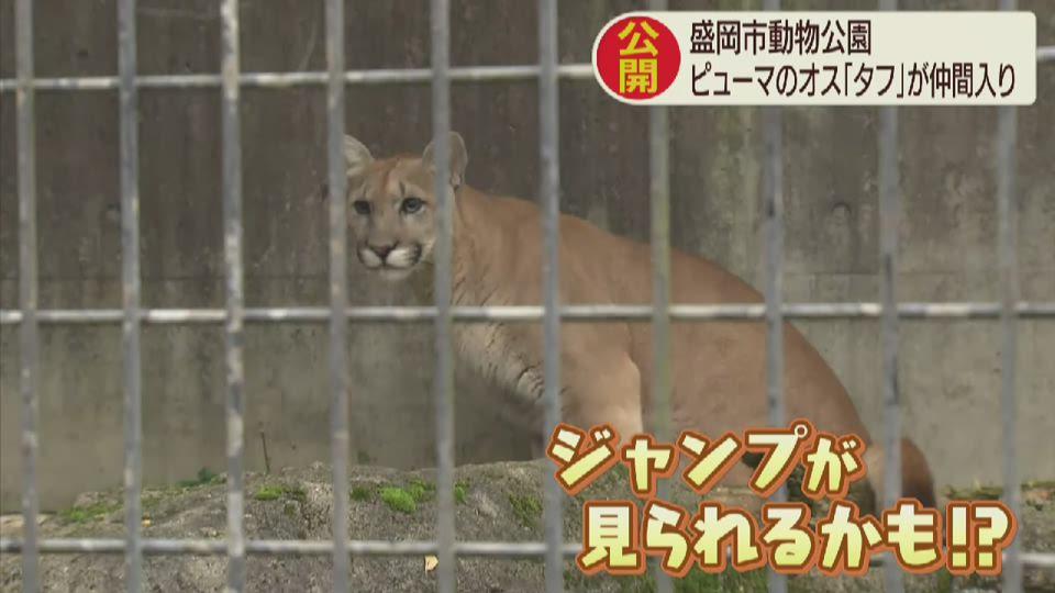 盛岡市動物公園「ピューマ」の公開