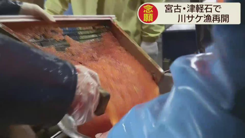 津軽石の川サケ漁再開