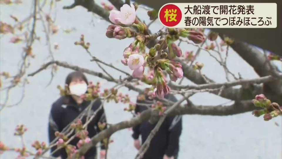 大船渡市で桜の開花宣言