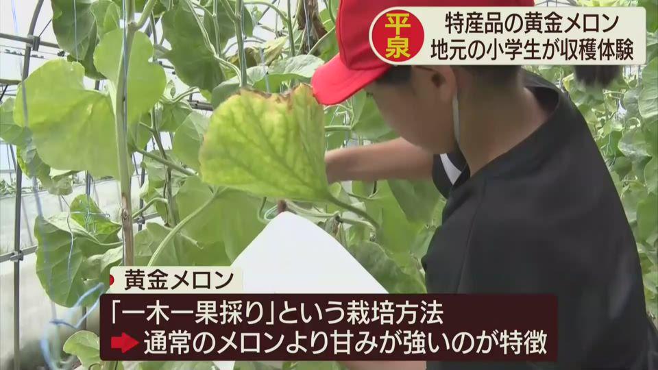 平泉「黄金メロン」収穫体験学習