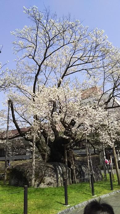 石割桜、満開